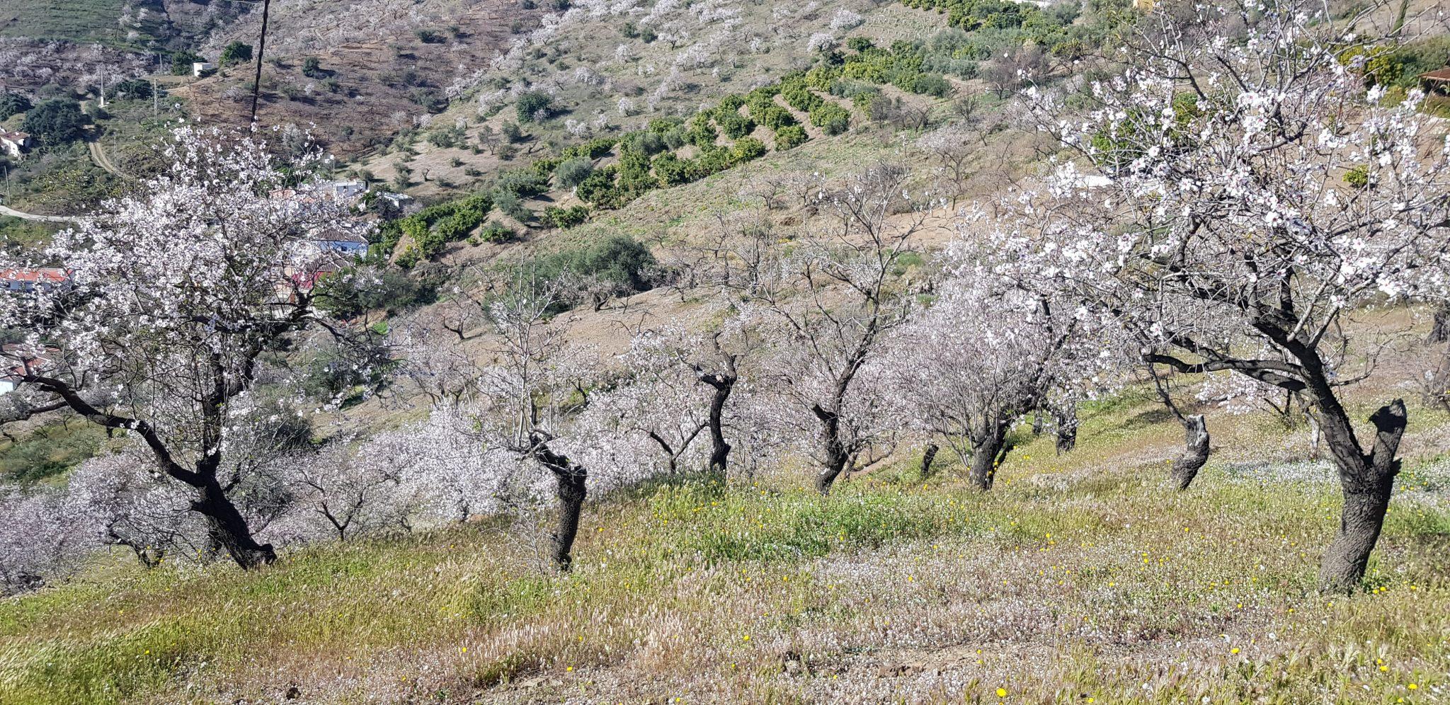 almond blossom in nerja